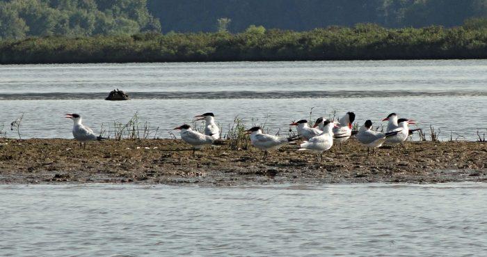 6. Caspian Terns on Lake Barkley