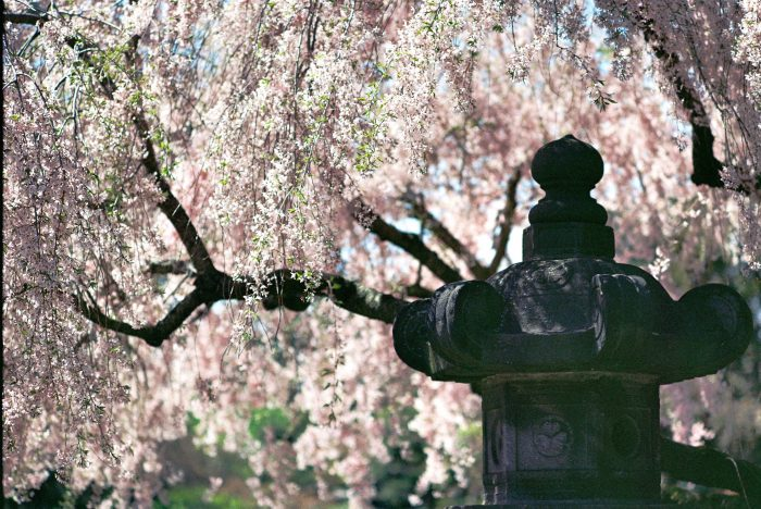 7. The Cherry Blossoms of Brooklyn's Botanic Garden will sweep you off of you feet.