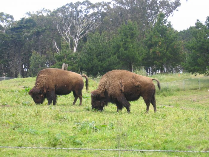 12. Golden Gate Park's Superintendent John McLaren brought a few bison into Golden Gate Park in 1891 (they were close to extinction at this time). You can still find bison roaming here.