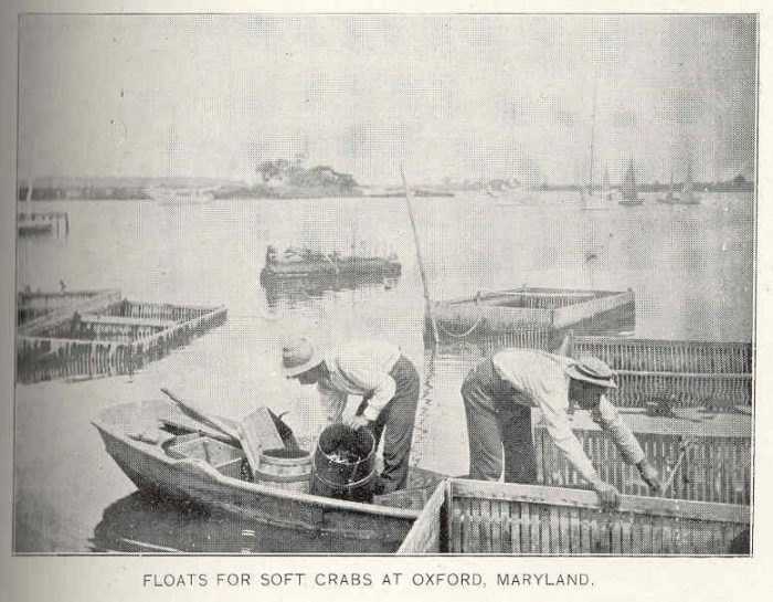 1. These men are arranging floats for soft-shell crabs in Oxford, circa 1899.