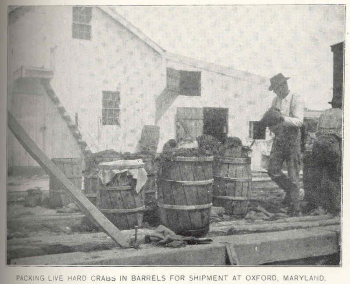 5. These men are packing live crabs into barrels for shipment. Photo taken in Oxford in 1899.
