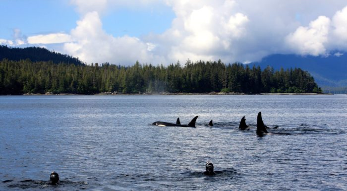 2. Go snorkeling with the orcas.