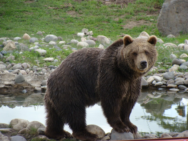 2. There are grizzly bears everywhere.