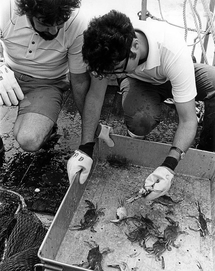 7. They then check the size, quantity, and sex of blue crabs in the Bay.