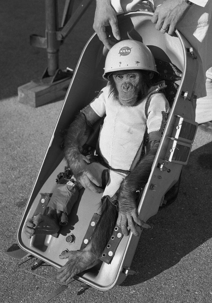 Ham_the_chimp_(cropped)