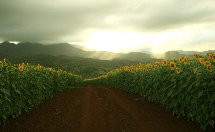 2. It's hard to believe this sunflower field is located on Oahu's north shore.