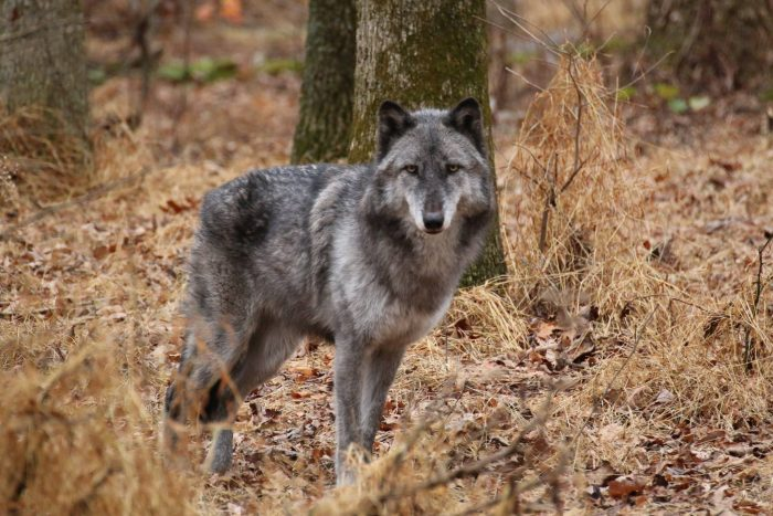 13. Wolf Watch Tour, Columbia