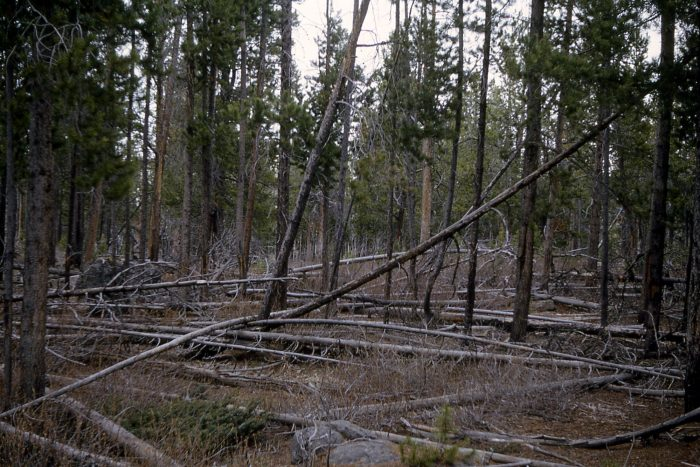 5. There are more lodgepole pines in Yellowstone than any other tree.