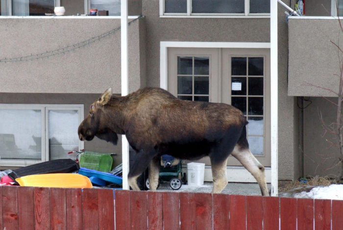 13. Call in late to work because a moose was blocking them in their house.