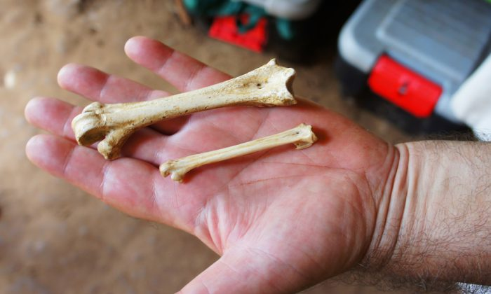 Bones found in the cave include those of various extinct animals, including some 40 species of birds, half of which are now extinct.