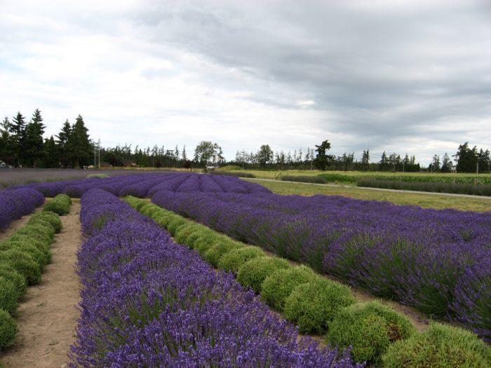 Sequim lavendar