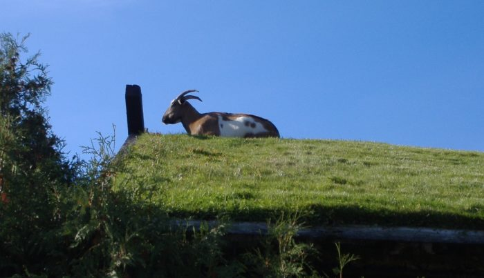 2. Eat at a restaurant that has goats on the roof: Al Johnson's.