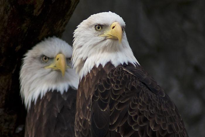 10. Bald Eagles