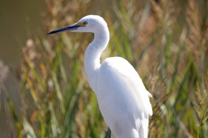 Snowy Egret at Bombay Hook National Wildlife Refuge