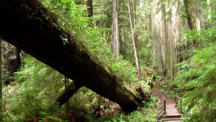 2. Boy Scout Tree Trail, Jedediah Smith State Park