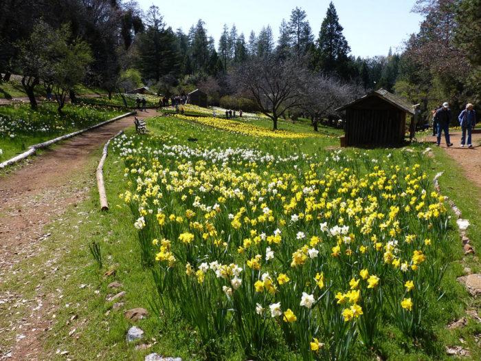 9. Daffodil Hill, Volcano