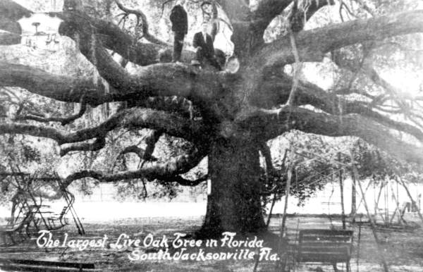 The tree was called the Giant Oak and was sometimes referred to as the biggest live oak in Florida.
