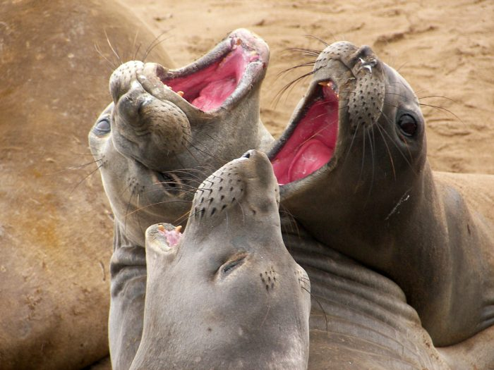 7. Ano Nuevo State Park is the best place to spot the adorable northern elephant seals.