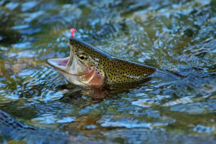 4. Rainbow Trout dominate this area, with an average 3253 trout per mile. Another reason so many fishing events are out here.
