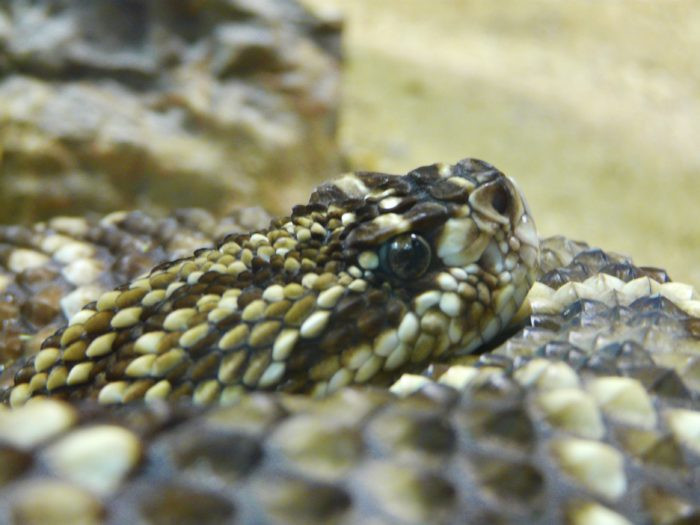 3. There are also many, many rattlesnakes.
