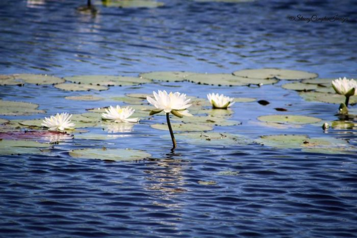 12. Water Lilies on the Bayou