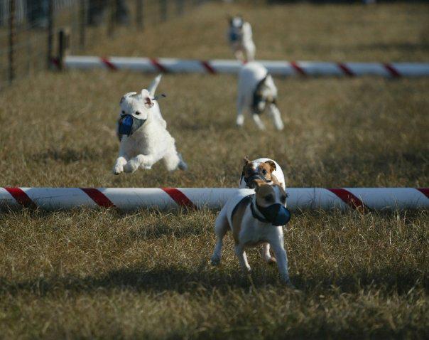 terrier-racing-2