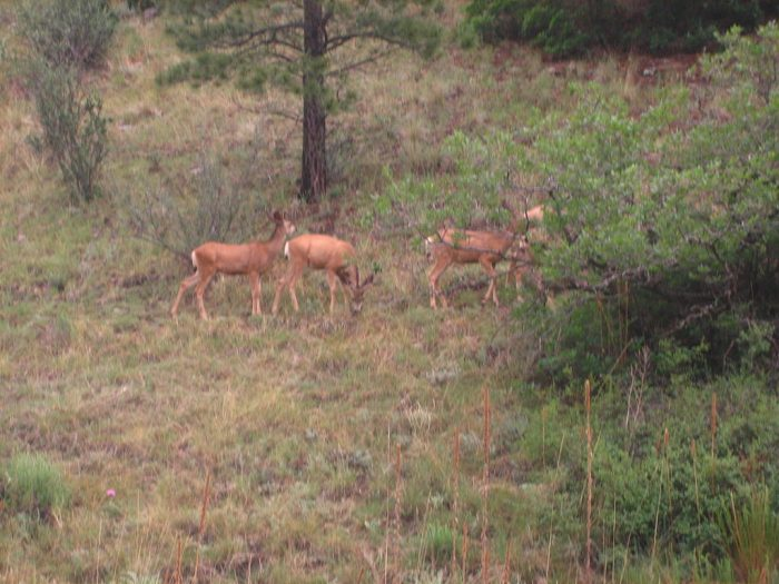 1024px-Deer_at_Cimarron_Canyon_State_Park_(NM)_Picture_1991