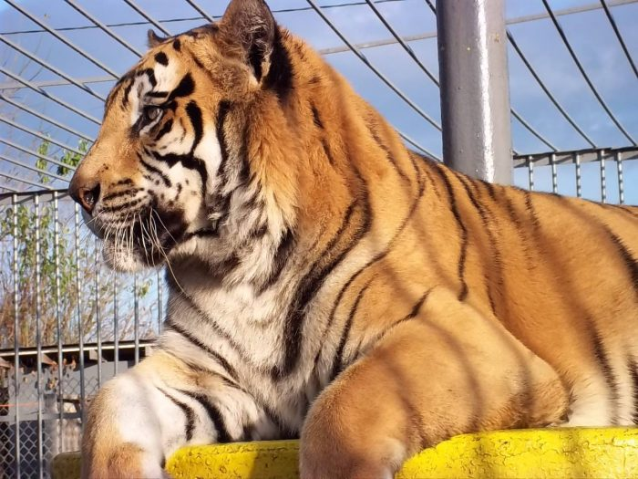 That's right---there is a live tiger here at the truck stop!