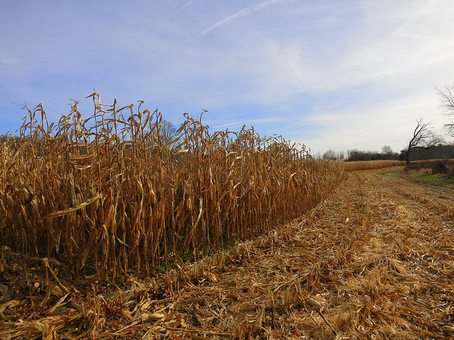 2. This quintessential corn field photo shows how lovely Rhody farms can be.