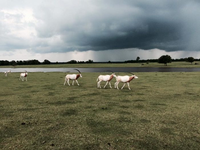 The Scimitar horned oryx, classified as extinct in the wild, thrives at this wildlife center.