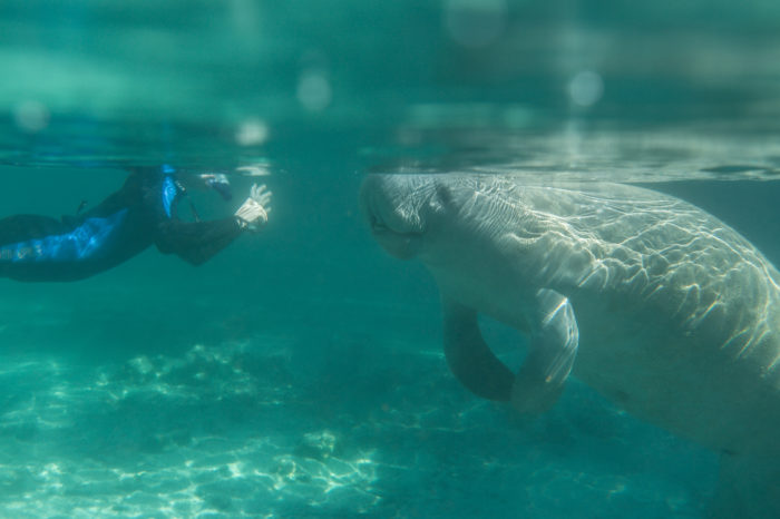 1. Swimming with manatees in Crystal River