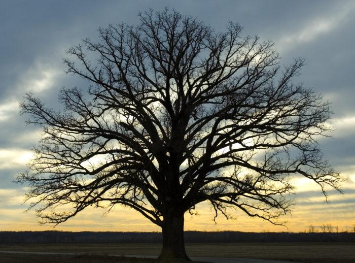 13. The McBaine Big Oak Tree