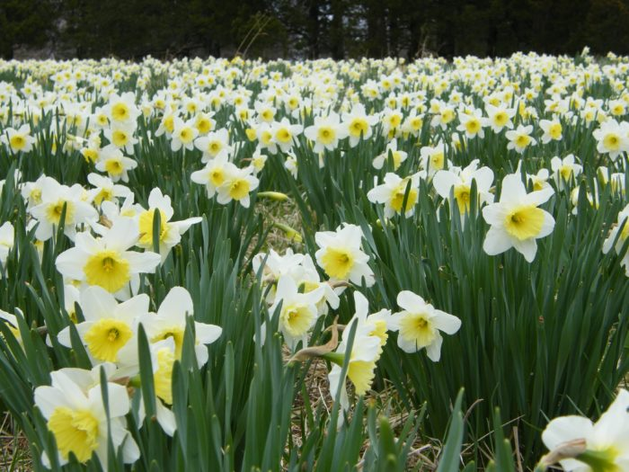 14. Daffodils at Shaw Nature Reserve