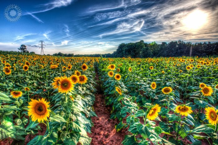 18. Sunflowers in bloom near Guthries, South Carolina.