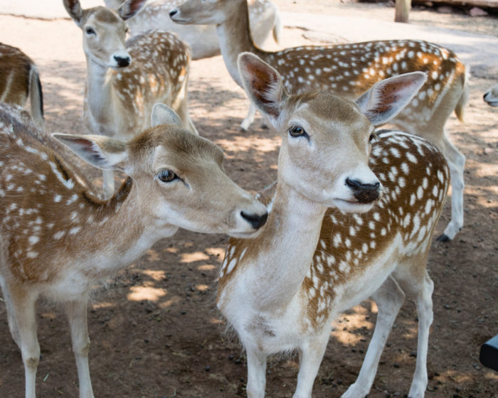 2. Or pay a visit to the Grand Canyon Deer Farm.