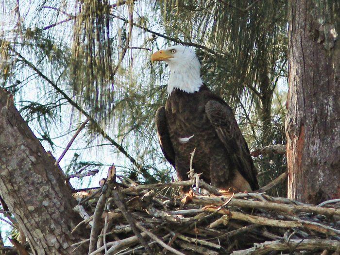 7. Eagle Watch—Chattahoochee Bend