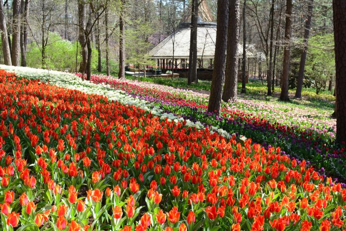 The tulips are real showstoppers.