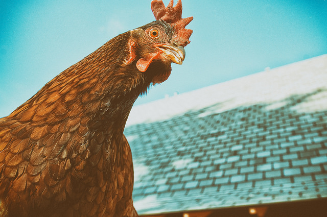3. This Rhode Island Red at one of the state's local chicken farms is just so very Rhode Island!