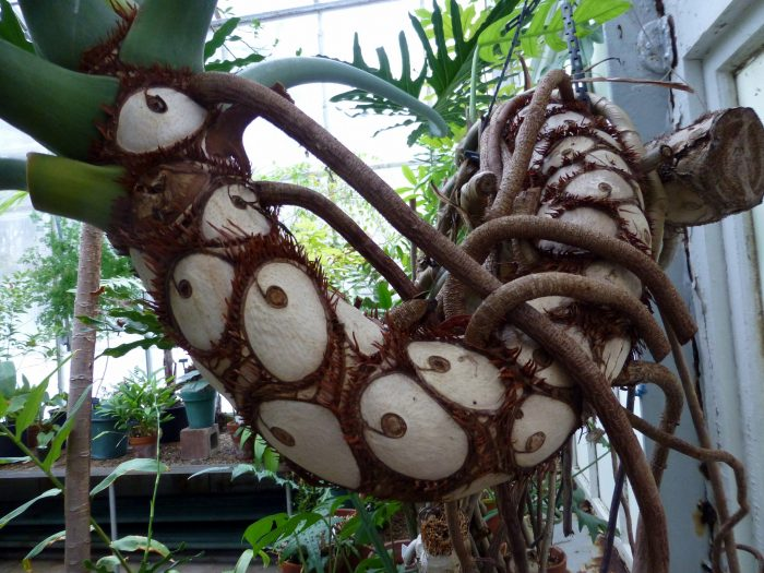 14. Wellesley College greenhouses are filled with fascinating plants, like this odd-looking Philodendron tree.