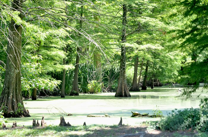 "2. Referred to as ""a natural treasure in the Mississippi Delta,"" the Greenville Cypress Preserve encompasses 16 acres and includes benches and an observation deck to make viewing the preserve that much more enjoyable."