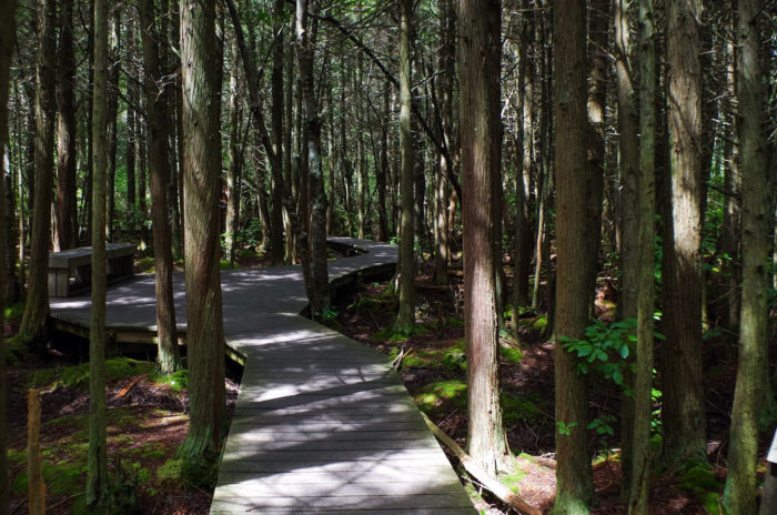 4. Atlantic White Cedar Swamp Trail, Wellfleet