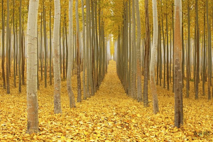 11. Oregon: Greenwood Resources Tree Farm in Boardman offers a surreal landscape of beautiful hybrid poplar trees. The farm covers more than 25,000 acres.