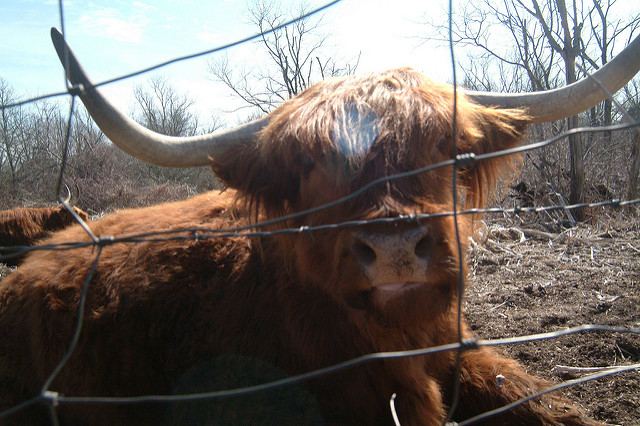 11. This guy looks like he's enjoying life on one of Rhode Island's stunning cattle farms.