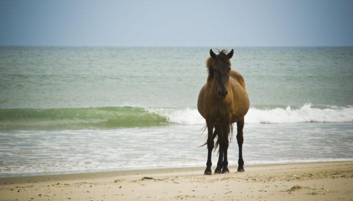 6. Beach roamin' wild horses? Yes, North Carolina is home to that magic at Shackleford Banks, Corolla and along the Outer Banks.