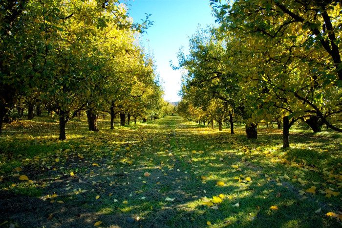 13. Oregon: Kiyokawa Orchards in Parkdale has been supplying Hood River Valley with delicious apples and pears since 1911.