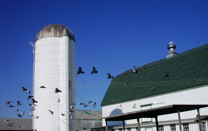 6. And this image of pigeons flying around a Howard County barn is like a dream.