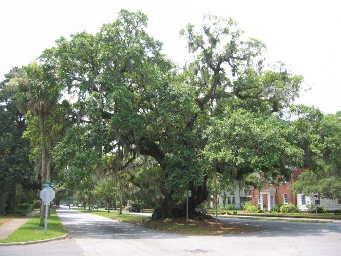 3. The Lover's Oak—Downtown Brunswick