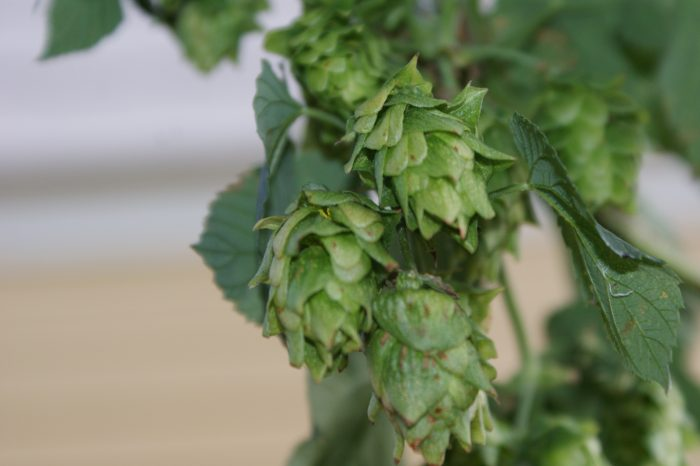 4. When picking hops in Iowa, it's illegal to a use a box that isn't 36 inches in length.