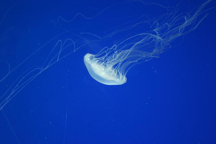 4. Box Jellyfish +  Portuguese Man-of-War