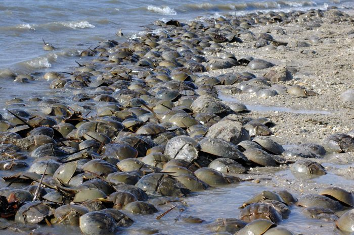 1. They're not intimidated by horseshoe crabs